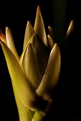 Bud on a Hosta plant on black background with nice light.
