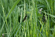 Mayfly on a blade of grass after the Mayflies hatched en masse from the River Teme on 23rd May 2020 near Martley, United Kingdom. Martley is a village and civil parish in the Malvern Hills district of the English county of Worcestershire. Mayflies are aquatic insects belonging to the order Ephemeroptera. This order is part of an ancient group of insects termed the Palaeoptera, which also contains dragonflies and damselflies.