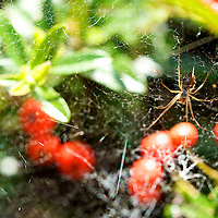 Getting up close to a spider hanging upside down, awaiting his next main course meal among the bounty of fruits around him.