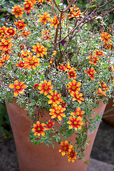 Bidens' Hot and Spicy' in a terracotta container