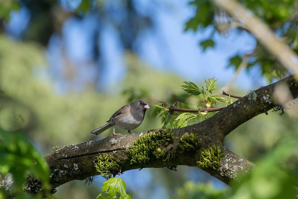 "A female dark-eyed junco perches in a maple tree just south of Seattle Washington with the typical well-defined ""hood"" found in individuals in the Pacific Northwest."