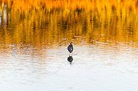 US, Florida, Merritt Island National Wildlife Refuge, Black Point Wildlife Drive. Tricolored Heron.