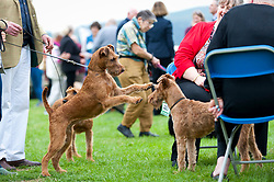 © Licensed to London News Pictures. 18/08/2018. Llanelwedd, Powys, UK. Irish Terriers play before judging on the second day of The Welsh Kennel Club Dog Show, held at the Royal Welsh Showground, Llanelwedd in Powys, Wales, UK. Photo credit: Graham M. Lawrence/LNP