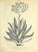 Barbados Aloe. Aloe (also written Aloë), is a genus containing over 550 species of flowering succulent plants. Copperplate engraving From the Encyclopaedia Londinensis or, Universal dictionary of arts, sciences, and literature; Volume I;  Edited by Wilkes, John. Published in London in 1810