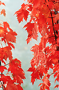 Image of a spiderweb on fall leaves near Seattle, Washington, Pacific Northwest by Randy Wells