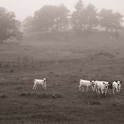 Cattle in the fog, Appleton Farms & Grass Rides, managed by The Trustees of Reservations, Ipswich, MA
