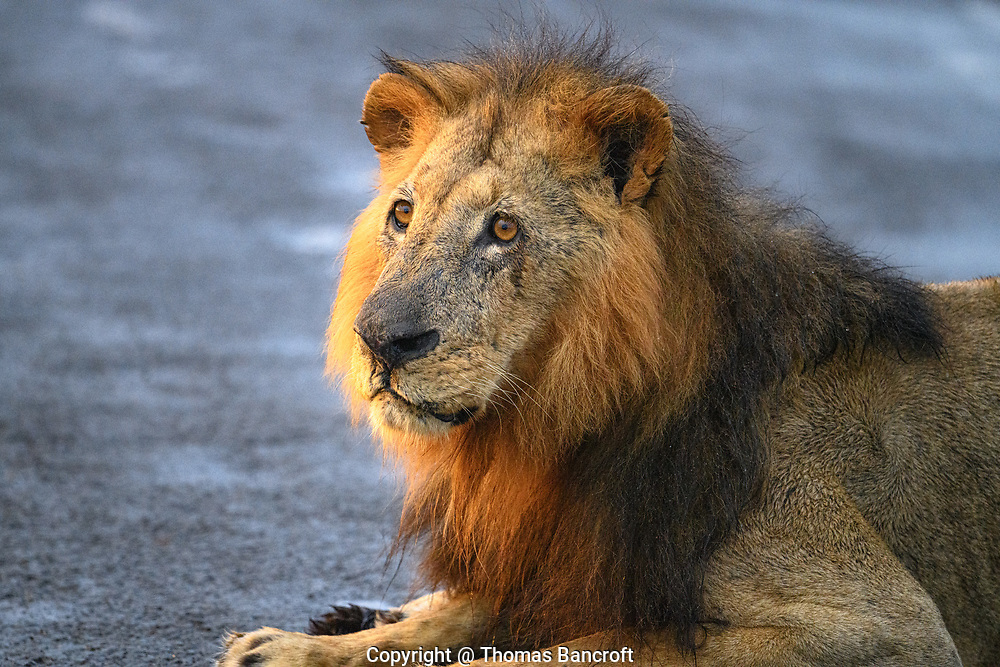 The male lion is alert as it occupies the road and is not about to move until he is ready.