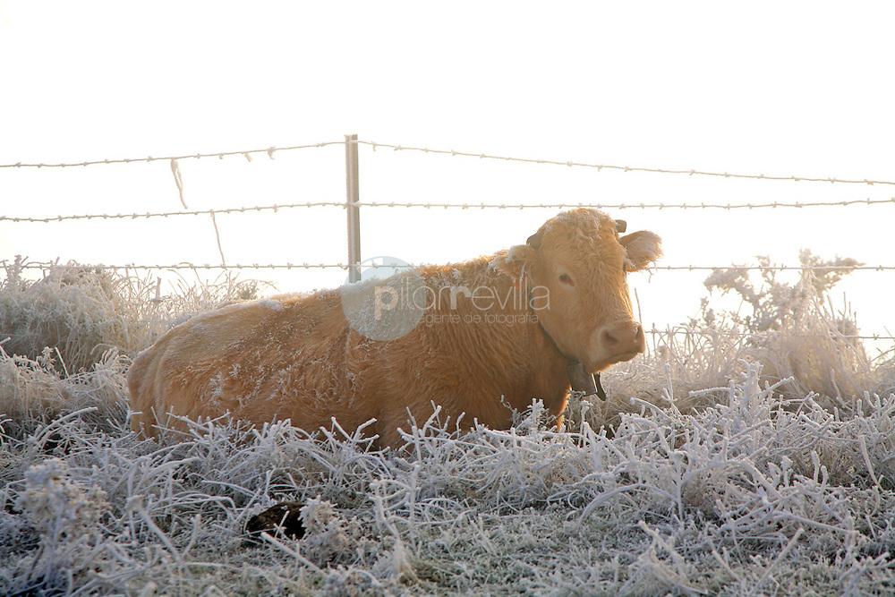 Vaca. La Rioja ©Daniel Acevedo / PILAR REVILLA