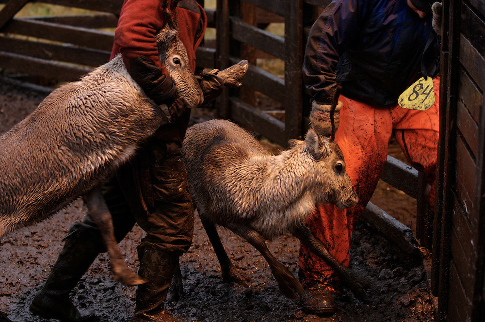Hirvas Salmi, FINLAND.  Two calves are cordoned off into small fenced partition.  Nearly all the yearlings are slaughtered because otherwise many would perish in the harsh winter.