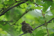 This is a Northern Cardinal fledgling hiding out in a bush.
