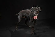 Beau, the blind black lab who came to my studio for the black dogs project.