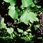 Pinot Noir grapes on the vine in the Marlborough Wine Region, Blenheim, South Island of New Zealand. The Marlborough wine region is New Zealand's largest wine producer and has earned a global reputation for  producing the best Sauvignon Blanc in the world. Marlborough, New Zealand, 11th December 2011. Photo Tim Clayton..
