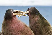 Atlantic Walrus<br /> (Odobenus rosmarus)<br /> Spitsbergen<br /> Svalbard<br /> Norway<br /> Arctic Ocean<br /> Poolepynten haul out