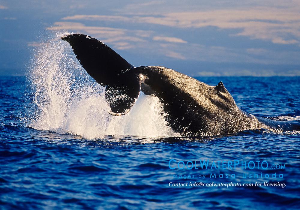 humpback whale, Megaptera novaeangliae, displaying peduncle throw or tail breach behavior, Hawaii, USA, Pacific Ocean