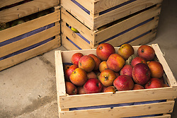 Heap of red ripe apples in crates, Bavaria, Germany