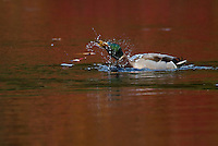 A male mallard swimming on Walden Pond shakes the water off of his head.