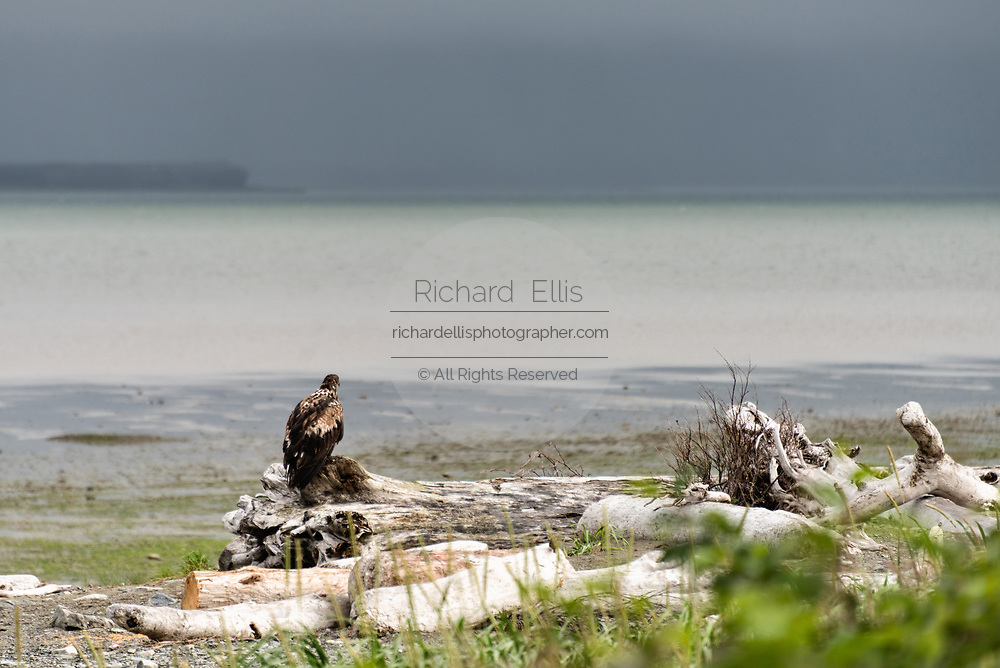 An immature bald eagle perches on driftwood along the beach at the McNeil River State Game Sanctuary on the Kenai Peninsula, Alaska. The remote site is accessed only with a special permit and is the world's largest seasonal population of brown bears in their natural environment.