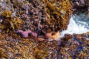 Tidal pool at Second Beach, Olympic National Park, Washington, USA.