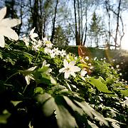 Trollhättan 2010 05 02 Vitsippor i backe skog vår vårtecken vit blomma blommor<br /> <br /> <br /> <br /> FOTO : JOACHIM NYWALL KOD 0708840825_1<br /> COPYRIGHT JOACHIM NYWALL<br /> <br /> ***BETALBILD***<br /> Redovisas till <br /> NYWALL MEDIA AB<br /> Strandgatan 30<br /> 461 31 Trollhättan<br /> Prislista enl BLF , om inget annat avtalas.