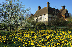 Daffodils and blossom in the orchard meadow at Great Dixter. House beyond