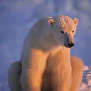 Polar Bear in alpenglow on the frozen ice of Hudson Bay, Canada.