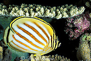 ornate butterflyfish, Chaetodon ornatissimus, night coloration, Layang Layang Atoll, Malaysia ( South China Sea )