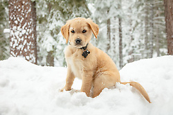 """""""Puppy in Truckee Snow 5"""" - Photograph of a Golden Retriever puppy """"Quill"""" playing in the snow in Truckee, California."""