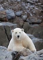 Polar bear (Ursus maritimus) lying on scree slope, Svalbard, Norway.