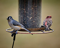 Tufted Titmouse and House Finch. Image taken with a Fuji X-T3 camera and 200 mm f/2 lens with 1.4x TC