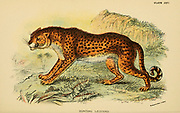 cheetah (Acinonyx jubatus) [Here as Cynaelurus jubatus] From the book ' A handbook to the carnivora : part 1 : cats, civets, and mongooses ' by Richard Lydekker, 1849-1915 Published in 1896 in London by E. Lloyd