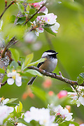 A black-capped chickadee (Poecile atricapillus) rests on a branch among fresh apple blossoms in a tree in Snohomish County, Washington.