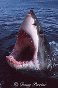 great white shark, Carcharodon carcharias, jawing or gaping at surface, Gansbaai, South Africa ( Indian Ocean )
