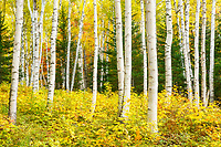 White birches in White Mountain National Forest during autumn, New Hampshire