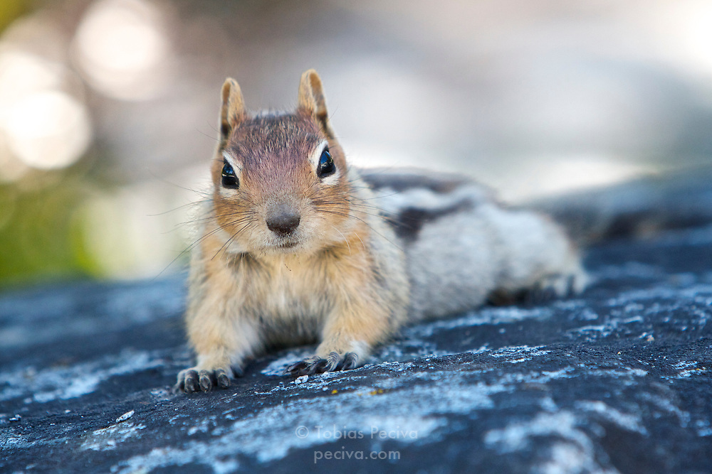 Golden-mantled ground squirrel resting on a rock in South Lake Tahoe, California.