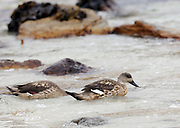 Crested ducks (Lophonetta specularioides) dabbling for marine invertibrates near the beach at Carcass Island. Carcass Island, Falkland Islands.
