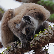 Ring-tailed lemur foraging on the new leaves of Alluaudia ascendens trees in the spiny forest. Berenty Reserve, Madagascar