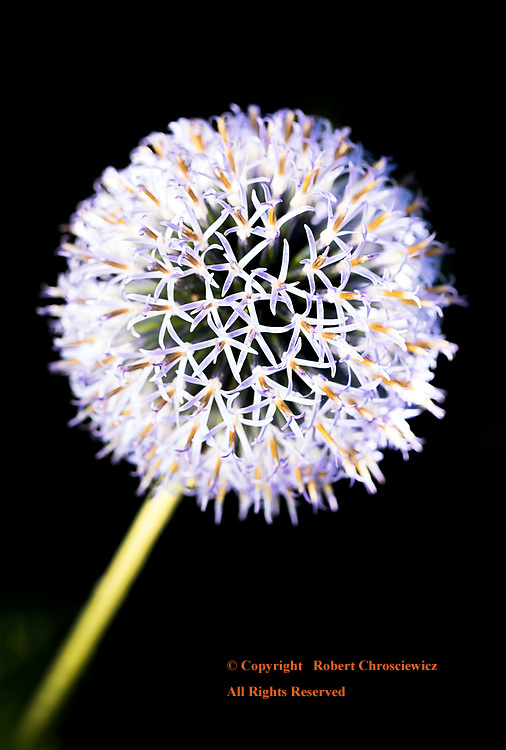 Allium in Detail: This Allium as seen close-up and with a limited focal point, accentuates both its shape as well as the plants flowers in detail, Minter Gardens, Rosedale British Columbia Canada.