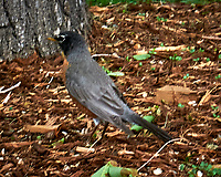 American Robin. Marriott Residence Inn, Boulder Colorado. Image taken with a Nikon D300 camera and 70-200 mm f/2.8 lens.
