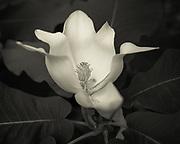 Magnolia blossom at Meadowlark Botanical Gardens, Virginiag