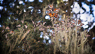 Monarch butterflies gathered in Pacific Grove, California, late February 2016