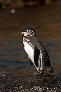 Galapagos penguin (Spheniscus mendiculus) near Bartolomé Island, Galapagos Archipelago - Ecuador.