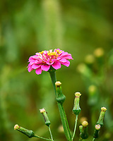 Pink Zinnia flower. Image taken with a Leica SL2 camera and Sigma 100-400 mm lens