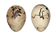 Reed Bunting - Emberiza schoeniclus