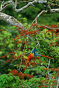 Scarlet Macaw in coral tree eating its flowers. These trees bloom sporactically, sometimes only every three or four years - Amazonia, Peru