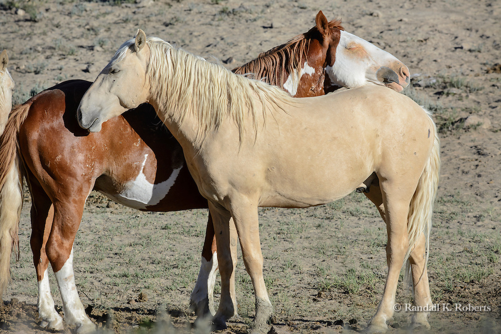 Two family members cuddle close in the evening light at the Sand Wash Basin Wild Horse Management BLM area in northwest Colorado