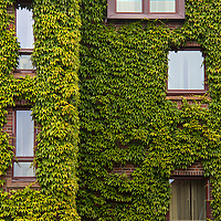 Europe, Norway, Bergen. Bryggen building with ivy, a UNESCO World Heritage Site.