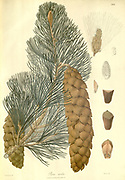 Pinus wallichiana [Here as Pinus excelsa] is a coniferous evergreen tree native to the Himalaya, Karakoram and Hindu Kush mountains, from eastern Afghanistan east across northern Pakistan and north west India to Yunnan in southwest China. From Plantae Asiaticae rariores, or, Descriptions and figures of a select number of unpublished East Indian plants Volume III by N. Wallich. Nathaniel Wolff Wallich FRS FRSE (28 January 1786 – 28 April 1854) was a surgeon and botanist of Danish origin who worked in India, initially in the Danish settlement near Calcutta and later for the Danish East India Company and the British East India Company. He was involved in the early development of the Calcutta Botanical Garden, describing many new plant species and developing a large herbarium collection which was distributed to collections in Europe. Several of the plants that he collected were named after him. Published in London in 1832