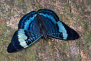 Prola Panacea Butterfly, Panacea prola, resting with wings open on tree trunk, Manu, Peru, Amazon jungle, blue patterns, irridescent colours, strong fast flyer,. .South America....