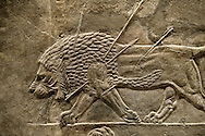 Assyrian relief sculpture panel from the  lion hunt showing a dying lion.  From Nineveh  North Palace, Iraq,  668-627 B.C.  British Museum Assyrian  Archaeological exhibit no ME 124863-4 .<br /> <br /> If you prefer to buy from our ALAMY PHOTO LIBRARY  Collection visit : https://www.alamy.com/portfolio/paul-williams-funkystock/ancient-assyria-antiquities.html  Refine search by adding background colour, place, subject, museum etc into the LOWER SEARCH WITHIN GALLERY box to <br /> <br /> Visit our ANCIENT ASSYRIAN PHOTO COLLECTIONS for more photos to download or buy as wall art prints https://funkystock.photoshelter.com/gallery-collection/Ancient-Assyrian-Art-Artefacts-Antiquities-Historic-Sites-Pictures-Images-of/C0000cjRqQyJjLag