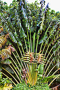 White Bird of Paradise, Travelers Palm, Flower, Fern Grotto, Wailua River, Kauai, Hawaii